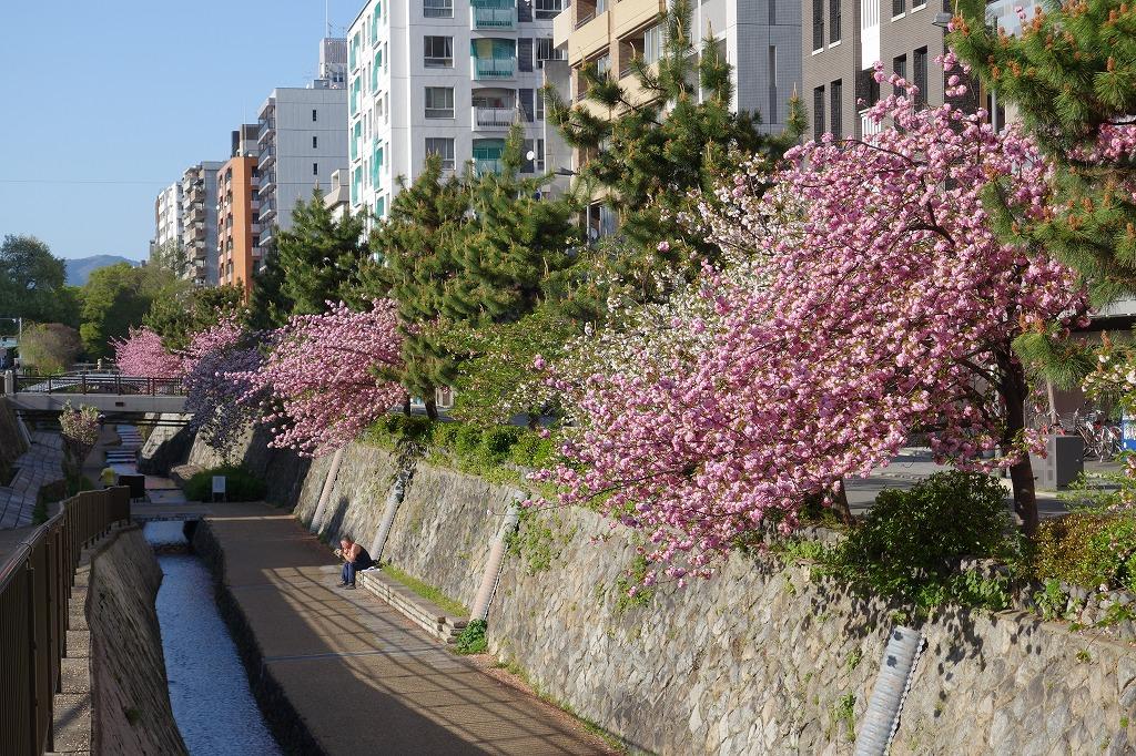 京都堀川の八重桜