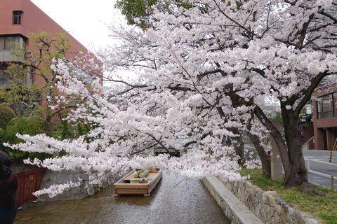 春の京都 中京区の桜